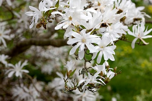 Stjärnmagnolia är små buskar som översållas av stjärnformade blommor i vitt eller rosa på våren.