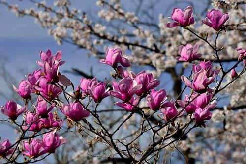 Rosenmagnolia finns det många namnsorter av, ibland kallas de för flickmagnolia. Alla sorter har rosa och upprätta tulpanlika blommor.