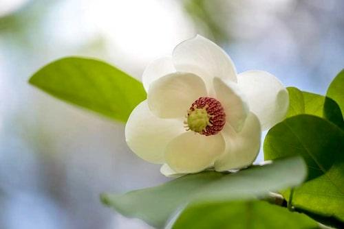 Både buskmagnolia och wilsonmagnolia har vita, skålformade blommor med utmärkande röda ståndare.