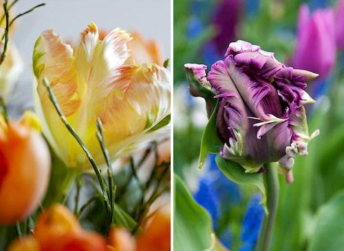 'Apricot Parrot' har smarriga färger i aprikos, vitt och grönt. Papegojtulpanen 'Mysterious Parrot' ger fantastiska lila fransiga blommor med gröna strimmor.