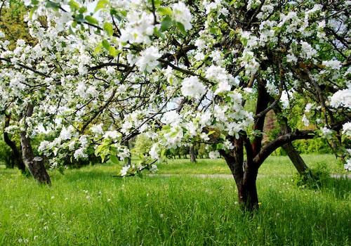 Pollinering av äpplen kräver att man har äppelträd av andra sorter i närheten. På balkongen kan man ibland få hjälpa till med pollineringen för att få frukt.