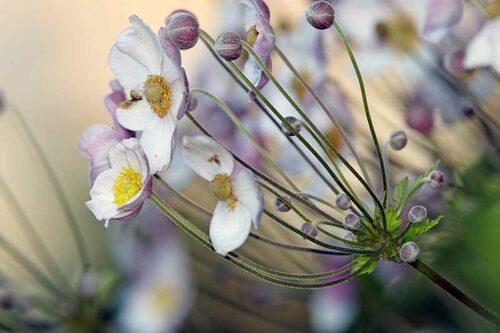 Höstanemoner utvecklar flest blommor i sol, men kan även stå i halvskugga.