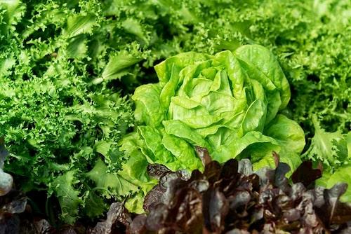 Det är klimatsmart att odla egna grönsaker istället för att köpa odlad mat från andra sidan jordklotet.