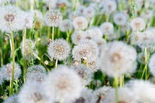 Viktigt att få bort blommorna innan de bildat fröbollar som lätt sprider sig med vinden.