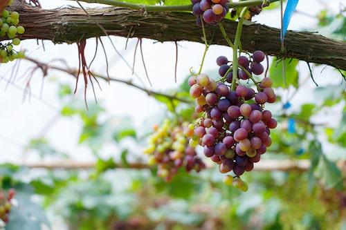 Uterummet dignar av vindruvor – det finns många recept att testa när man tröttnat på de färska!