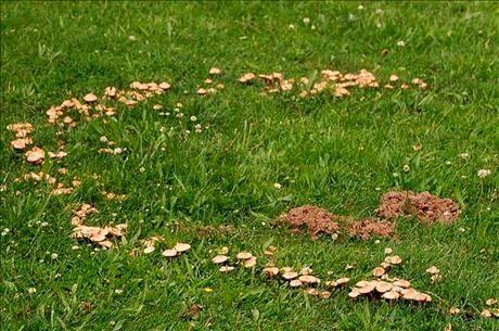 """Svampar som växer i ring i en gräsmatta kallas för """"häxring""""."""