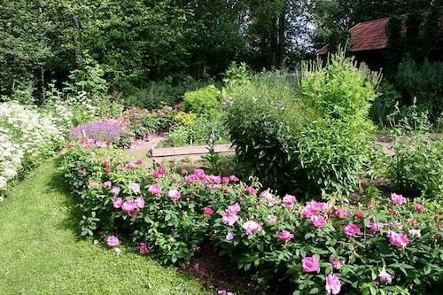 Rosor kan användas som friväxande häckar. Det finns rosor i alla de höjder. Här syns apotekarrosen Rosa Gallica-gruppen 'Officinalis'.