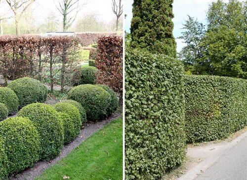 Häck med buxbom, som är gröna hela året och i bakgrunden avenbok, som behåller sina bronsfärgade blad till våren. Måbär är lätta häckar att forma, och trivs tacksamt i de flesta jordar över hela landet.