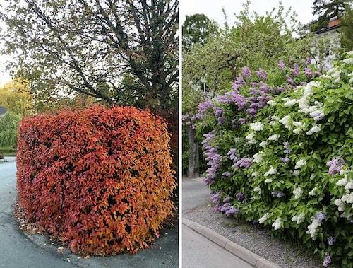 Häckoxbär till vänster, är härdig i hela landet och ger täta häckar som på hösten får vacker färg. Till höger syrenhäck i maj.