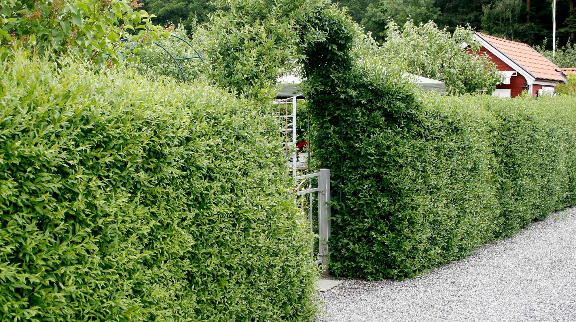 gröna buskar året om