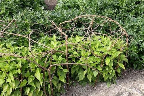 Av tunna grenar kan man fläta sinnrika växtstöd.