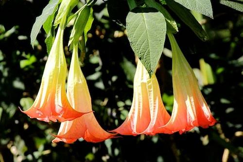 Att plantera om änglatrumpeter tidigt på säsongen är ett måste. De vill ha näringsrik och lucker jord. Är det svårt att plantera om, kan ny jord läggas ovanpå.