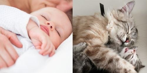 """En trygg hand, eller """"tass"""", kan vara allt som krävs för en att barnet ska sova (och detsamma verkar gälla för kattungar). Tassmetoden är en så kallad """"snäll"""" sömnmetod."""