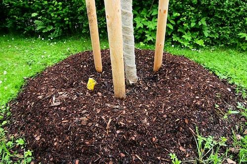 Jordlagret är ofta tunt nära träd och buskar och kan behövas bättras på.