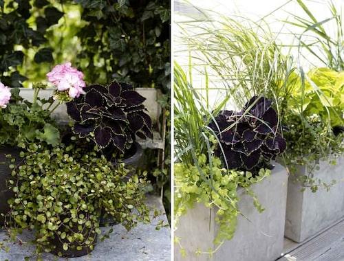 Slideranka och Penningblad som med sina pyttesmå blad låter palettbladen lysa än tydligare.