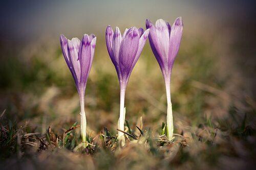 """Tidlösa Colchicum kallas ibland för """"nakna jungfrun"""" och höstkrokus."""