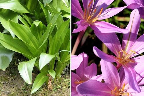 Tidlösans blad kommer på våren och vissnar ner under sommaren, för att sedan avlösas med nakna höstblommor.