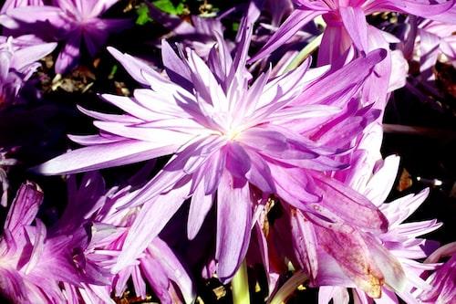 Den underbara hybrid-tidlösan 'Waterlily' som liknar en näckros.