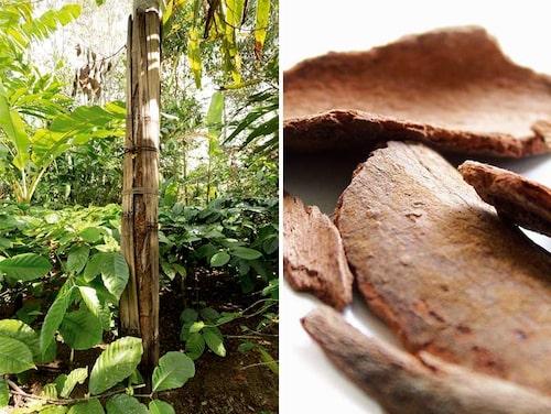 Kanel är barken från i huvudsak två kanelarter. Här skyddas trädet där man redan skördat bark, så att ny bark kan återbildas.