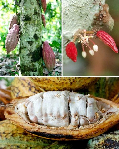 Blommorna liksom de stora kakaobönorna växer direkt på kakaoträdets stammar.
