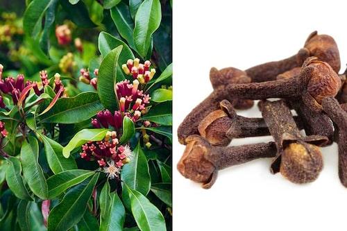 Kryddnejlika är ett träd som kan bli 10 m högt. Produkten är de torkade blomknopparna.
