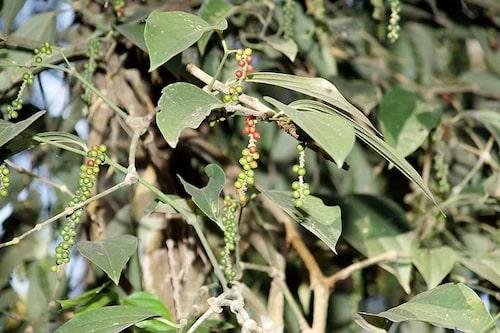 Pepparbären från samma art ger fyra olika kryddor – svartpeppar, vitpeppar, grönpeppar och rödpeppar.