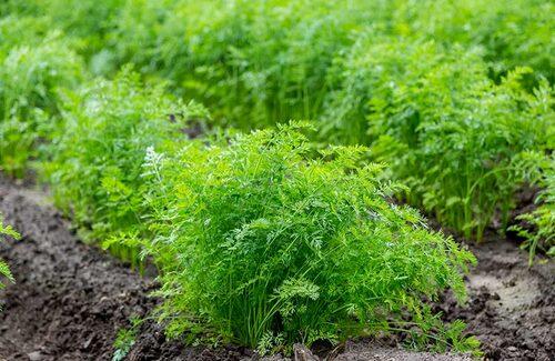 Morot är en grönsak som går att så sent på hösten.