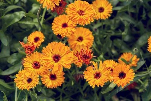Ätliga blommor som ringblommor och penséer går att så sent på hösten. Här är det dubbla ringblommor på bilden.