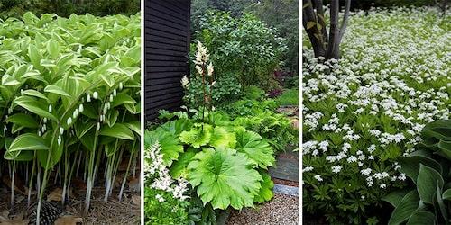 Vitblommiga, gulbladiga och vitbrokiga perenner lyser upp i de skuggiga delarna av trädgården.