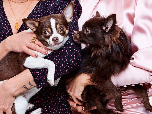 Chihuahuan Dino och pomchin Sammy.