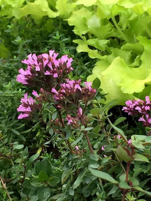 Purpurmejram har en underbar arom och passar fint i köksträdgården.