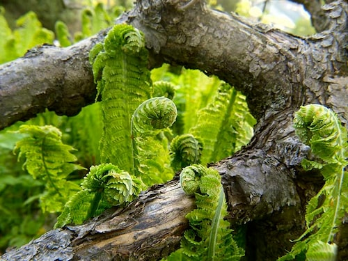Var säker på att det är strutbräken du har i din trädgård innan du plockar denna delikatess och äter den!