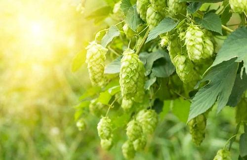 Humle – en perenn slingerväxt – används till öl. Men du kan med fördel skörda de unga skotten precis som sparris!