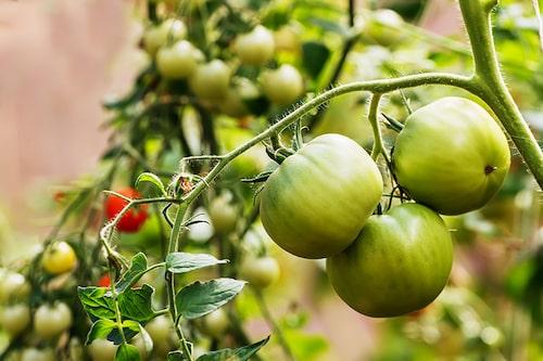 Låt de gröna tomaterna mogna på plantan så länge som möjligt.