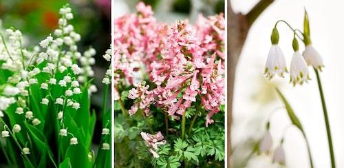 Liljekonvalj, nunneört och sommarsnöklocka