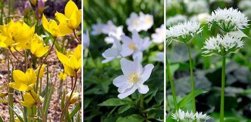Vildtulpan, vitsippa och ramslök i blom