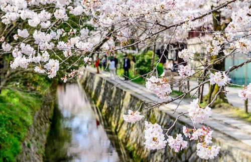 Körsbärsblomning i Kyoto