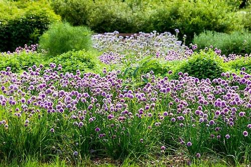 Även gräslök Allium schoenoprasum, har dekorativa värden!