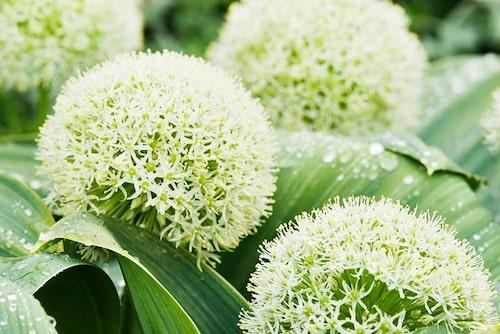 Boll-lök Allium karataviense är korta i stjälken, men har stora blommor och breda blad.