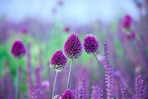 Klotlök (Allium sphaerocephalon) en kul prydnadslök!