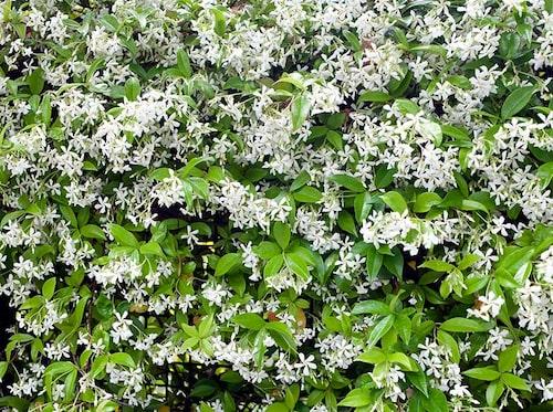 Det finns många olika sorters jasmin. De odlas som krukväxter hos oss, men går att ställa ut under sommaren.