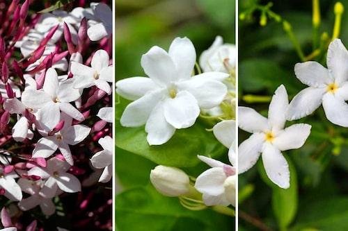 Flera olika jasminsorter. Blommorna skiljer sig åt, men de har likadana skötselkrav, och alla har den distinkta doften av jasmin.