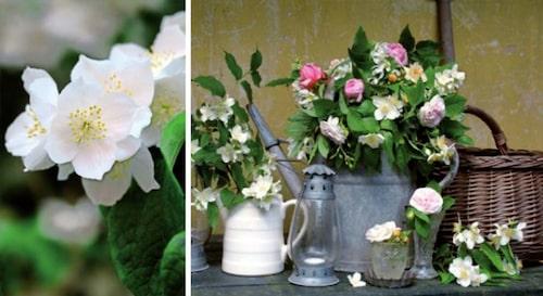 Schersminers blommor passar fint till snittblommor! Några doftar starkt, medan det även finns doftlösa till glädje för någon med allergi.