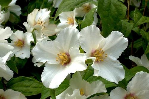 Brokschersmin 'Belle Etoile' har riktigt stora blommor med aningen cerise mitt och de doftar väldigt starkt.