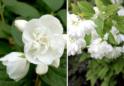 Till vänster kameliaschersminPhiladelphus Virginalis-gruppen, och till höger den fylldblommiga sorten 'Snowbelle'.