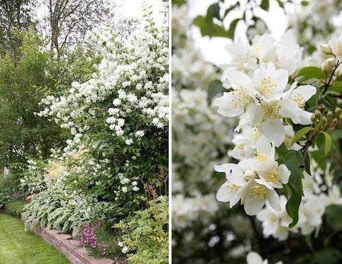 Norrlandsschersmin P. lewisii 'Waterton' är den härdigaste schersminbusken och går att odla ända upp till zon 7!
