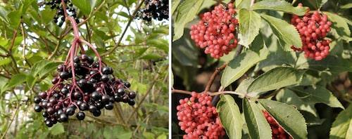 Äkta fläder har svarta bär, och druvfläder har röda bär.