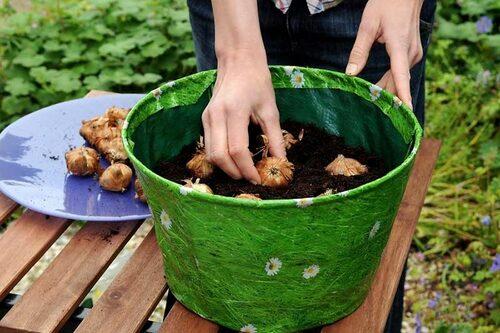 Gladiolus som planteras i en kruka. Du kan förkultivera gladiolerna för tidigare blomning.