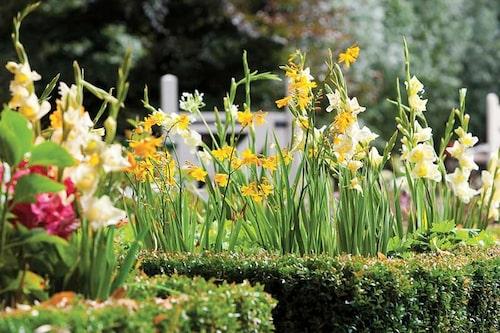 Ljusgul Gladiolus planterad ihop med gul Montbretia. Låg buxbomshäck inramar och ger stöd.