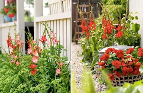 Gladiolus i röda rabatter. Effektfulla kombinationer.